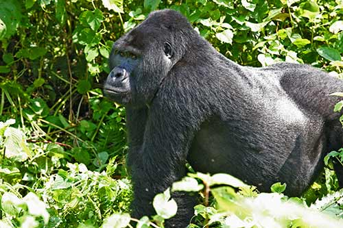 Silver back gorilla   in the forest