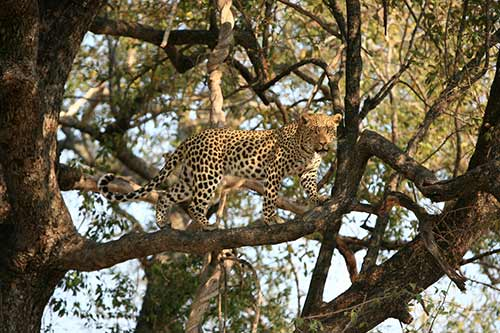 Leopard in tree in Queen Elizabeth national Park
