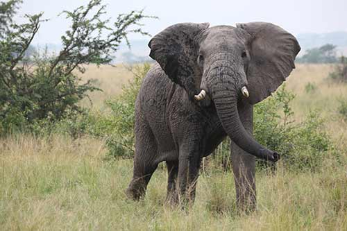 Elephant Bull in National Park