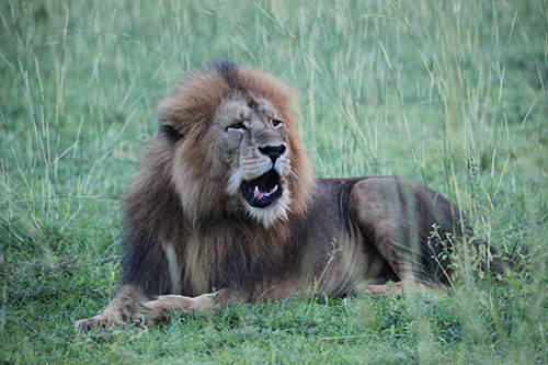 Male lion in the National park