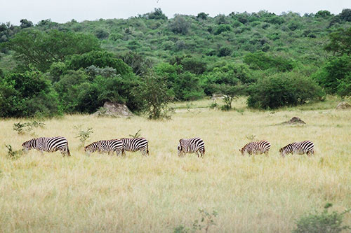 Kidepo Valley Zebras