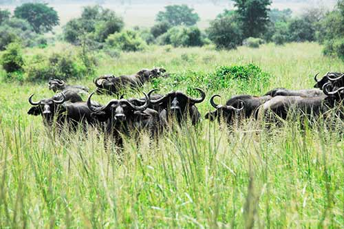 Bufallo herd in Lake Mburo park