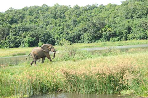 Elephant by river Nile